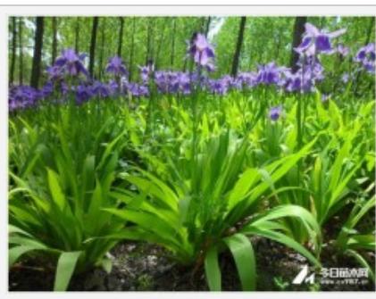江苏 苏尔园林低价直销鸢尾 蝴蝶兰