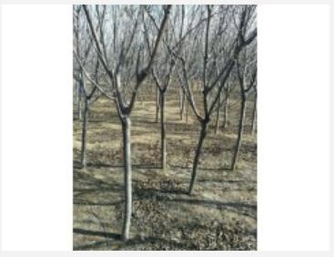 内蒙山桃,1-8公分山桃,山桃价格