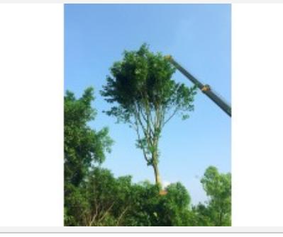 四川泸州基地供应 点景 片植 行道树 黄葛树