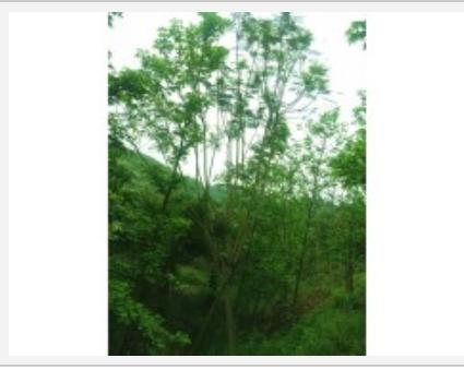四川泸州基地供应 点景 片植 行道树蓝花楹
