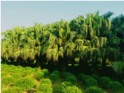 四川泸州基地供应 点景 片植 行道树 蒲葵