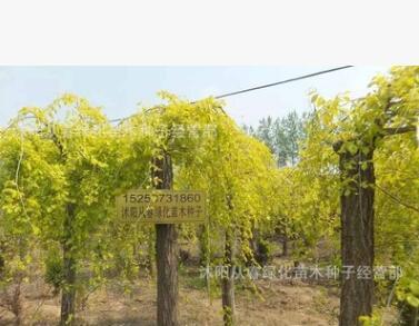 批发垂榆树苗绿化苗木 可嫁接金叶榆 金叶垂榆 大叶垂榆 规格齐全