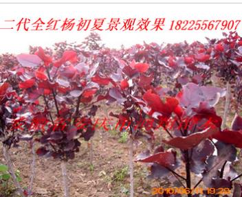 安徽安庆全红杨