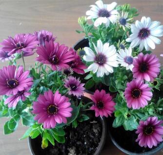 四季易种南非万寿菊草花种子室内万寿菊混色阳台野花组合盆栽