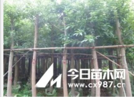 供应大叶榕,黄葛树 -普宁南景花木场