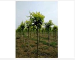 优质高接金叶榆