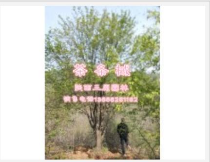 优价供应茶条槭(生货,苗圃货均有)