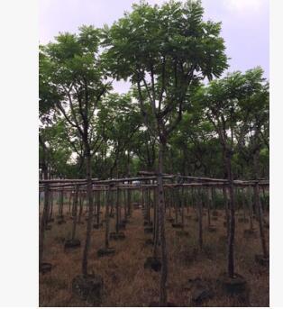 福建漳州园林绿化苗木黄花槐移植供应 黄花槐地苗供应