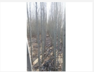 2-5公分新疆杨供应