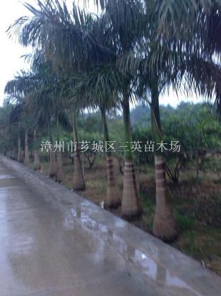 大王椰子供应(杆高5米)大王椰子(杆高5米)