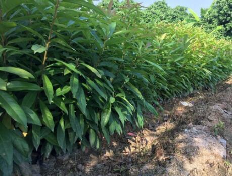 大量低价低价处理各种规格木荷苗