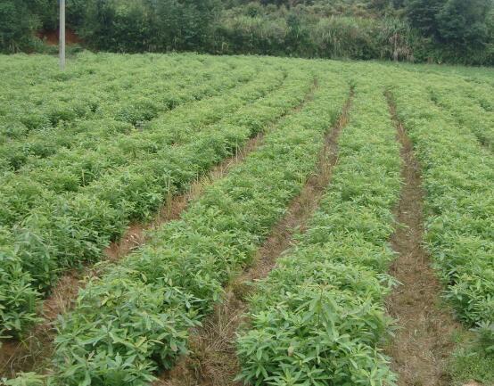 木荷-木荷图片-供应木荷小苗-2-5公分木荷信息-造林苗