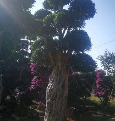 总高3米造型三角梅景观桩头(绿源花木)造型小叶榕桩头价格