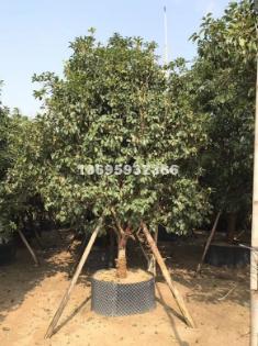金桂树苗高度4米 基地直销无中介产地批发 常绿乔木桂花树苗价格