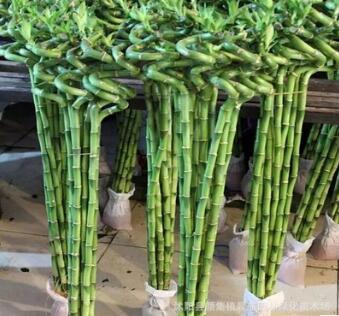 富贵竹转运竹龙竹 弯竹水培植物室内桌面绿植盆栽净化空气