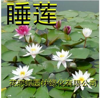 水培花卉植物 盆栽睡莲种根 水培袖珍莲迷你睡莲根块 耐寒抗寒