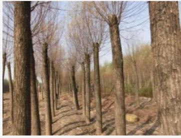 大量优良品种山西树苗直销 漳河柳 旱柳 新疆杨