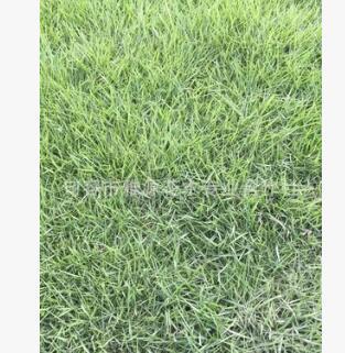 百慕大草皮 百慕大草坪基地 百慕大草皮基地 百慕大草坪种植园