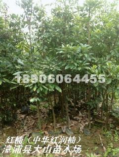 红楠(红润楠 绿化新品种)供应红楠红润楠苗地径3-5公分价格12-45元红楠容器苗