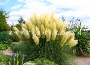 矮蒲苇,矮蒲苇批发,矮蒲苇品种,供应观赏草