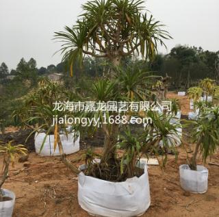 龙血树室内外大型观赏植物盆栽 盆景 龙须树 观叶植物 净化空气