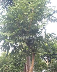 腊肠树13015659598假植苗