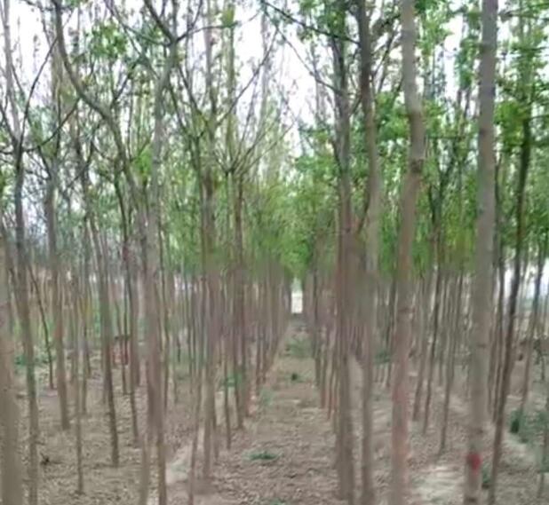供应复叶槭3. 4 . 5 公分高品质欢迎采购