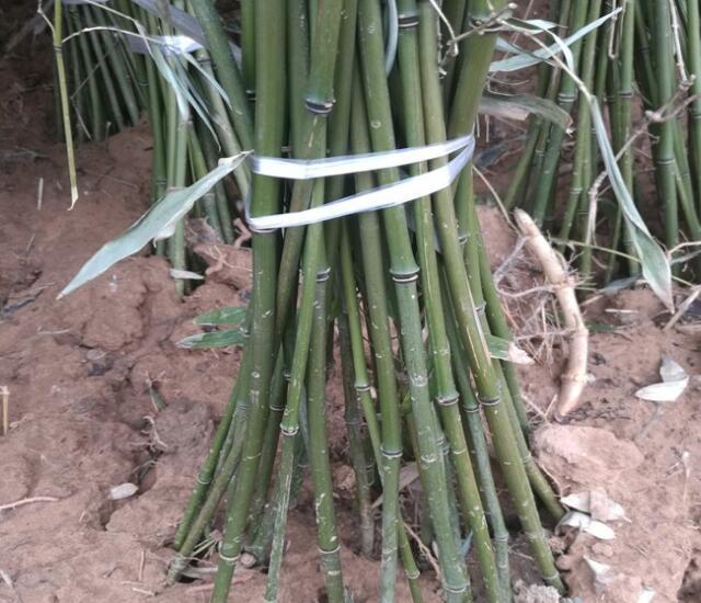 青竹、淡竹、钢竹'