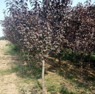批发红叶樱花小苗 5公分红叶樱花苗长期供货 山东樱花苗长期供货