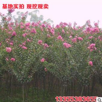 绿化百日红苗 道路美化用百日红树苗 低价批发百日红苗 实地看苗
