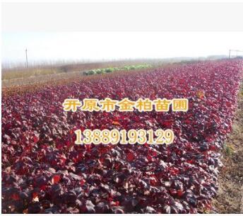 长期供应 优质紫叶风箱果多分枝 工程绿化苗木