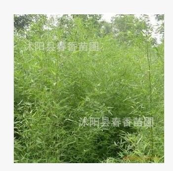 青竹苗 竹类植物 景观工程竹苗 绿化工程 竹子苗
