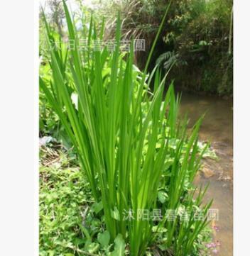 水生花卉 菖蒲苗 水菖蒲 大叶菖蒲苗 耐寒耐旱植物