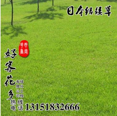 批发护坡日本结缕草草籽 日本结缕草草种 护坡耐践踏工程绿化