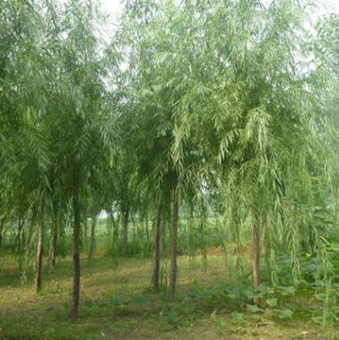 北京苗圃供应绿化苗木 银芽柳