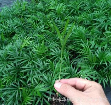优惠优质办公室绿植 袖珍椰子苗 广州园林花卉种子种苗批发