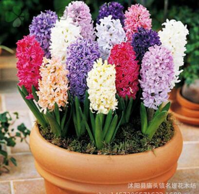批发风信子种球盆栽绿植花卉荷兰风信子种球水培植物颜色齐全