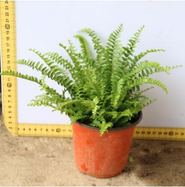 波斯顿蕨工程绿化苗木 小盆栽花卉 四季常青净化空气