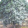 供应江苏南京桂花等多种绿化苗木