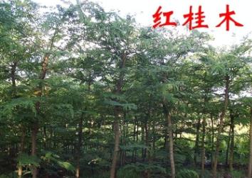 绿化苗木红桂木------万盛花木场