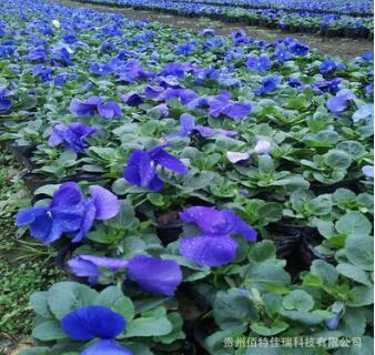 贵州贵阳供应金盏菊、三色堇、比利时杜鹃、雏菊、报春、石竹