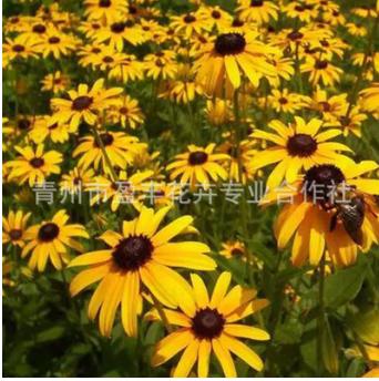 常年批发宿根花卉 黑心菊 黑心 品种齐全工程 宿根开花荷兰菊