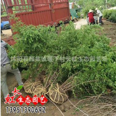 黄刺玫 基地直销 沭阳园林绿化工程苗1.5m大黄刺玫红刺玫