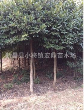 供应大叶冬青苦丁茶苗木 苦丁茶树苗 10公分绿化苗特价处理