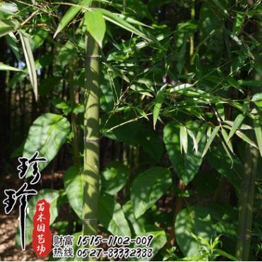 珍珍 雷竹批发绿化工程苗竹类 庭院绿化雷竹 竹子小苗 量大优惠行道树