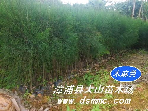 木麻黄(生态造林种苗)