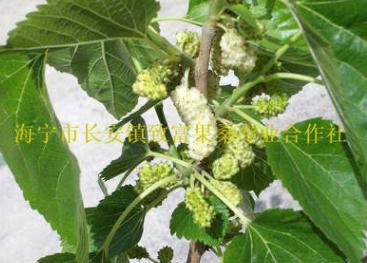 全年供应:白玉王桑树苗