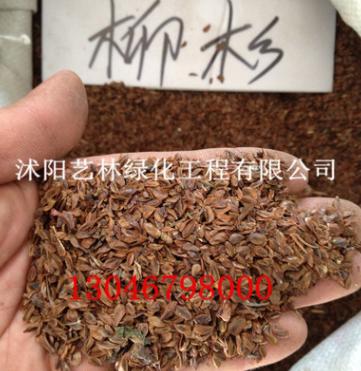 批发林木乔木柳杉 水杉 美国红心杉 长叶孔雀松种子 品质优良