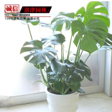 供应室内绿化植物龟背竹盆栽 龟背竹 办公室 植物种植基地直销