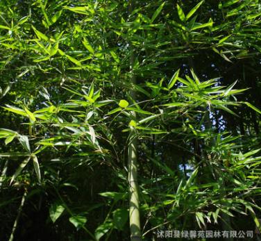 基地批发 雷竹苗 雷竹基地 雷竹树苗各种竹类品种齐全量大优惠